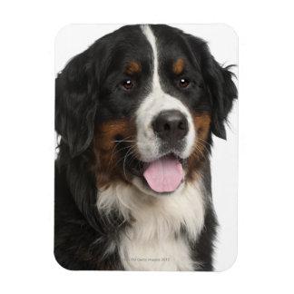 Bernese Mountain Dog (1 year old) Rectangular Photo Magnet