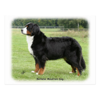 Bernese Mountain Dog 9Y236D-087 Post Cards