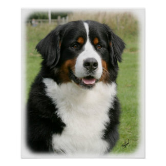 Bernese Mountain Dog 9Y236D-106 Poster