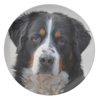 Bernese Mountain dog beautiful photo, gift Party Plates
