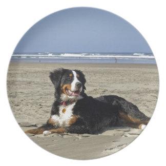 Bernese Mountain dog beautiful photo plate