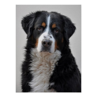 Bernese Mountain dog beautiful photo print