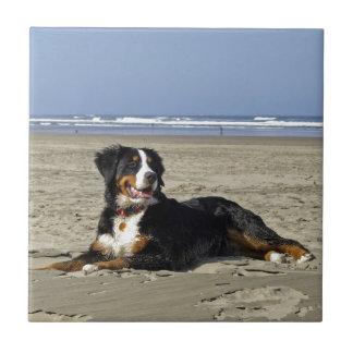Bernese Mountain dog beautiful photo tile