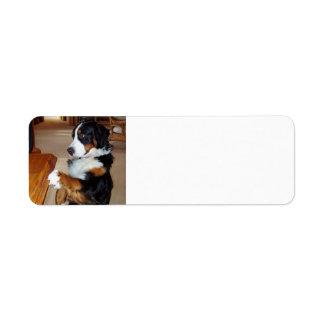 bernese-mountain-dog-begging.png label