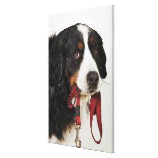 Bernese Mountain Dog (Berner Sennenhund) with Canvas Print