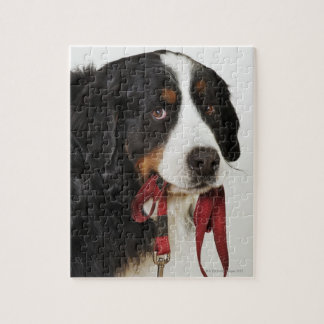 Bernese Mountain Dog (Berner Sennenhund) with Jigsaw Puzzle