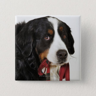Bernese Mountain Dog (Berner Sennenhund) with Pinback Button