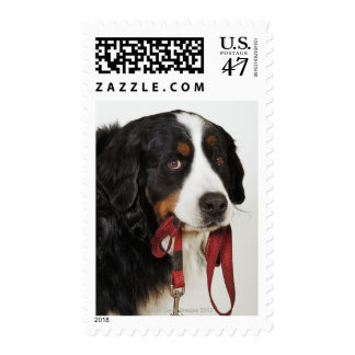 Bernese Mountain Dog (Berner Sennenhund) with Postage