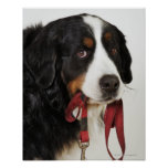 Bernese Mountain Dog (Berner Sennenhund) with Poster
