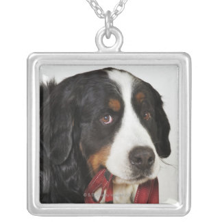 Bernese Mountain Dog (Berner Sennenhund) with Silver Plated Necklace