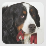 Bernese Mountain Dog (Berner Sennenhund) with Square Sticker