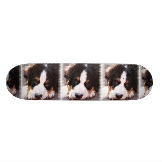 Bernese Mountain Dog Breed on Skateboard