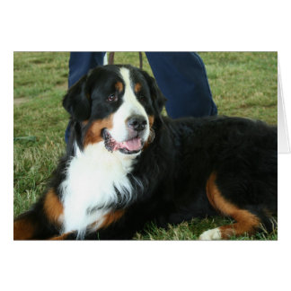 Bernese Mountain Dog Card