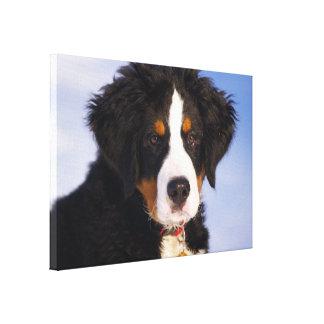 Bernese Mountain Dog - Cute Puppy Photo Canvas Print