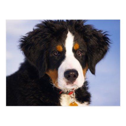 Bernese Mountain Dog - Cute Puppy Photo Post Card