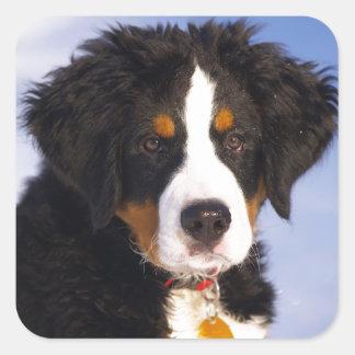 Bernese Mountain Dog - Cute Puppy Photo Square Sticker