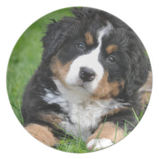 Bernese Mountain Dog Dinner Plate