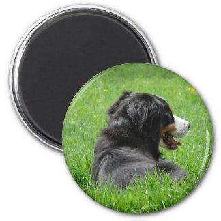 Bernese Mountain Dog Enjoys The Sun 2 Inch Round Magnet