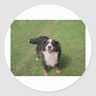 bernese mountain dog full.png classic round sticker