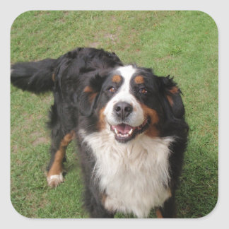 bernese mountain dog full.png square sticker