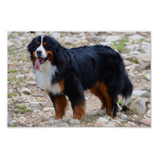 Bernese Mountain Dog Hiking Posters