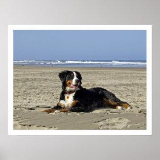 Bernese Mountain Dog on a Beach Poster