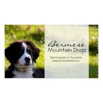 Bernese mountain dog on green grass pet photo business card