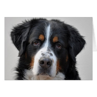 Bernese Mountain dog photo blank note card