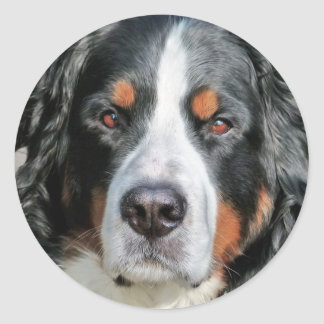 Bernese Mountain Dog Photo Image Classic Round Sticker