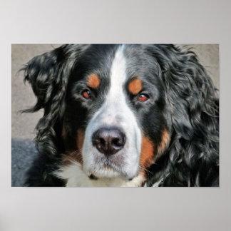 Bernese Mountain Dog Photo Image Poster