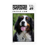 Bernese Mountain dog postage stamp
