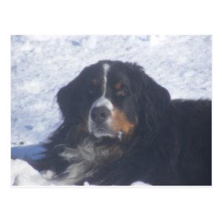 Bernese Mountain Dog Postcard