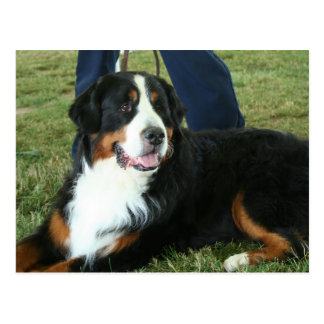 Bernese Mountain Dog Post Cards