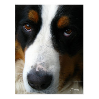 Bernese Mountain Dog Postcards