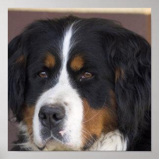 Bernese Mountain Dog Print
