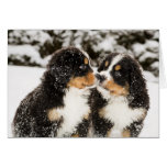 Bernese Mountain Dog Puppets Sniff Each Other Greeting Cards