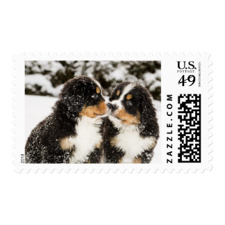 Bernese Mountain Dog Puppets Sniff Each Other Postage Stamp