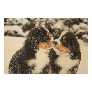 Bernese Mountain Dog Puppets Sniff Each Other Wood Wall Art