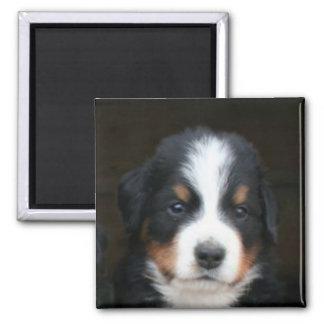 Bernese mountain dog puppies magnet