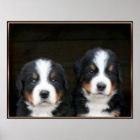 Bernese mountain dog puppies poster