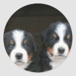 Bernese mountain dog puppies stickers