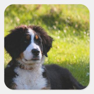 Bernese mountain dog puppy on green grass square sticker
