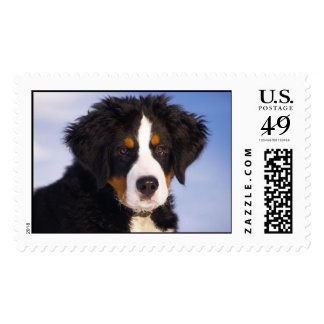 Bernese Mountain Dog Puppy Postage Stamp