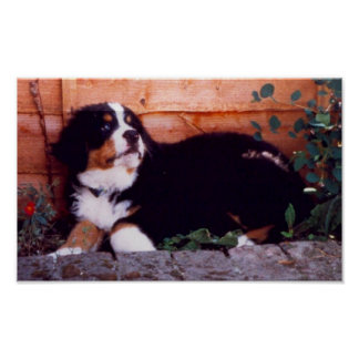 bernese mountain dog puppy poster