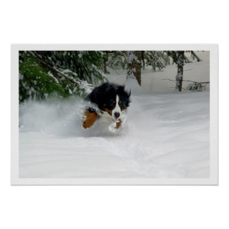 Bernese Mountain Dog Running in Snow Poster