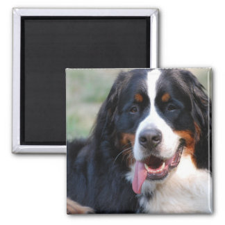 Bernese Mountain Dog with Big Tongue Magnet