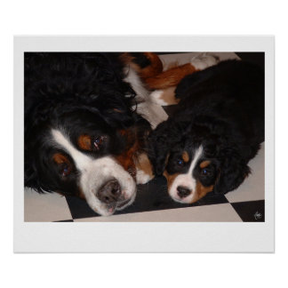 Bernese Mountain Dogs Head to Head Poster