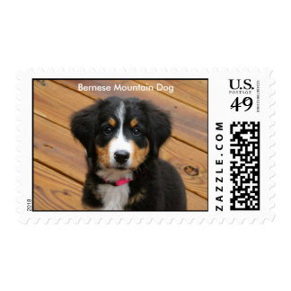 Bernese Mountain Puppy Postage Stamps