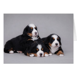 Bernese puppies greeting card