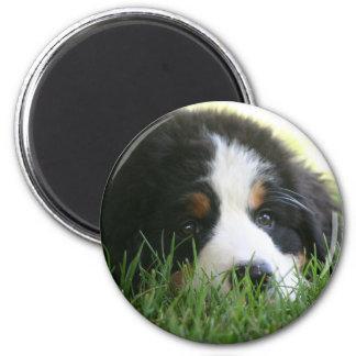 Bernese Puppy 2 Inch Round Magnet